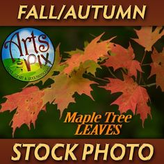 FALL is in the air and Arts & Pix offers you this beautiful, high resolution stock photography Close UP image of Fall leaves from a Sugar Maple Tree. Perfect for digital backgrounds, blog posts pics or as a background image for text. Includes 1 high resolution jpg Close UP stock photo of Fall leaves from a Sugar Maple Tree.