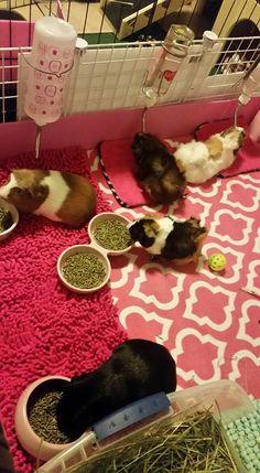 Guinea Pig House, Pet Guinea Pigs, Guinea Pig Care, Pet Pigs, Animal Room, Animal Decor, Guinie Pig, Bunny Cages, Pets 3