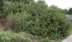 Image result for wild bushes and shrubs