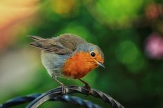 Robin, May 2016 - The Robin Red Breast, a regular visitor, perched on top of the bird feeder in my garden.