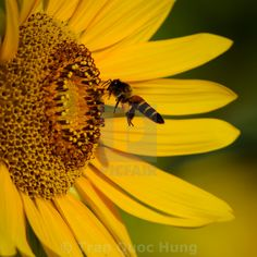 Get Honey bee vs sunflower photos and images from Picfair. Find high-quality stock photos that you won't find anywhere else. Royalty Free Images, Bee, Honey, Stock Photos, Nature, Calligraphy, Animals, Honey Bees, Naturaleza
