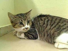 APPLE - A1042311 - - Manhattan  ***TO BE DESTROYED 07/10/2015*** APPLE is a little guy who came in with a bunch of other cats, a group of cats dumped in the ACC because the former owner had 'personal problems'. Now sweet little APPLE has personal problems of his own. He's scared, you can tell by his expression, and is worried about what will happen to him here in this frightening place. APPLE has done nothing wrong, yet the ACC couldn't care less abo