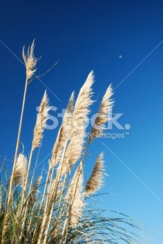 New Zealand/ Aotearoa native 'Toitoi' or 'Toetoe' grass heads blowing. Fantasy Landscape, Landscape Art, Sky Moon, Moon Photos, Art Reference, New Zealand, Grass, Royalty Free Stock Photos, Amp
