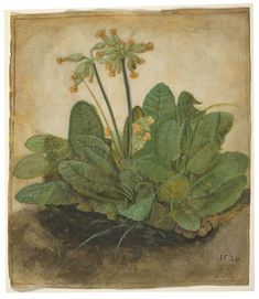 """Specifications of the classic art artpiece with the title """"Tuft of Cowslips"""" This over 490 year-old artpiece Tuft of Cowslips was painted by the male painter Albrecht Dürer in 1526. Besides, the piece of art belongs to the National Gallery of Art's art collection, which is the museum of the US-American nation that preserves, collects, exhibits, and fosters an understanding of works of art. The classic art masterpiece, which is in the public domain is included with courtesy of National… Albrecht Durer Paintings, Albrecht Dürer, National Gallery Of Art, Art Gallery, Sketch Painting, Drawing Sketches, Art Drawings, Renaissance Artists, Merian"""