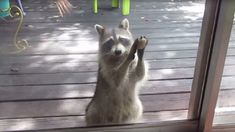 Rocksy The Raccoon Has Learned To Knock The Door For Food! (VIDEO)