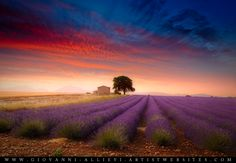 A lavender field in Valensole (Provence), France. Available prints at http://giovanni-allievi.artistwebsites.com/art/all/all/all/landscapes