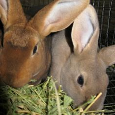Meat Rabbits: Raise these breeds for Home and Backyard Meat Production - types & weights