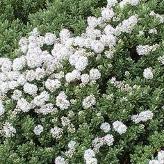 Buy shrubby veronica Hebe pinguifolia Pagei - Clusters of white flowers and blue-green foliage: 2 litre pot: Delivery by Crocus Coastal Gardens, White Gardens, September Flowers, Evergreen Shrubs, Back Gardens, Garden Inspiration, Veronica, Garden Plants, White Flowers