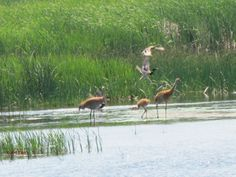 A Crane family at the Elberta Marsh!