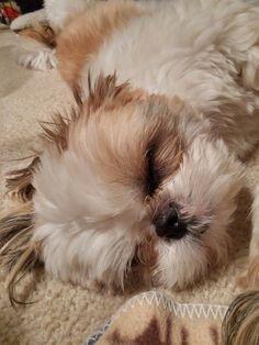 Shih tzu sleeping soundly