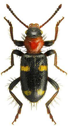 Allonyx quadrimaculatus CLERIDAE