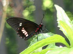 Photos de Papillon d'Amérique : Parides sp. - Cattlehearts - Papillon noir et rouge