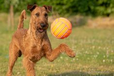 Irish Terrier, Terriers, Posters, Dogs, Waste Of Times, Doggies, Poster, Postres, Terrier