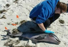 Dolphin Mass Deaths In The Gulf Of Mexico Due To The BP Oil Spill And Other Factors