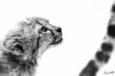 One Day, by guide Calvin Kotze. Keystone Species, Cheetahs, Run Around, African Animals, Big Cats, Small Dogs, Wilderness, Virginia, Kittens
