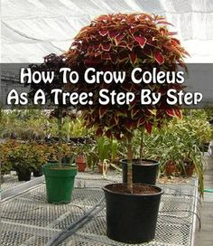 How To Grow Coleus As A Tree: Step By Step