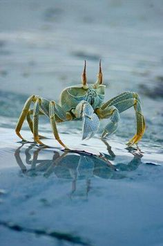 ghost crab- look at that reflection! Look at that giant ass crab! Beautiful Creatures, Animals Beautiful, Cute Animals, Beautiful Ocean, Fauna Marina, Wale, Water Life, Ocean Creatures, Tier Fotos