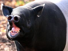 Couple of these bad boys wondering around at the wedding? Look at that fine ass snout.