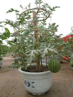 A watermelon in a container - those look like heavy pots - wonder if you could use a 5 gallon bucket and put rocks in the bottom to keep it from tipping. Love this.