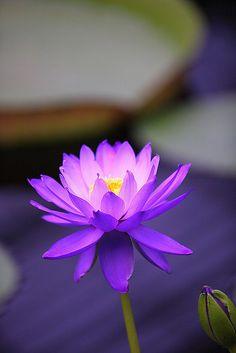 70 Mejores Imágenes De Flor De Loto Lotus Flower Beautiful