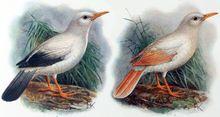 Rodrigues starling - Wikipedia, the free encyclopedia
