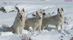 wilki zimą