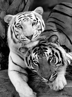 Tigers are one of my favorites. So beautiful.