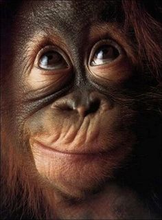 Orang-utan (Pongo pygmaeus), close-up, head-shot Cute Baby Animals, Animals And Pets, Funny Animals, Wild Animals, Animals Tumblr, Primates, Photos Singe, Beautiful Creatures, Animals Beautiful