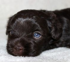 Are Havanese dogs hard to house train? | Havanese Dogs and Puppies