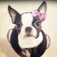 Adorable cute Boston terrier... to see more click on pic