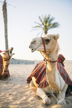 Oh The Places You'll Go, Places To Travel, Places To Visit, Abu Dhabi, Voyage Dubai, Camelus, In Dubai, Dubai Desert, Dubai City