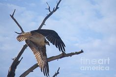 Title:  Osprey   Artist:  Bob Hislop   Medium:  Photograph - Photography