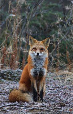 Sittin' Pretty ~ Red Fox
