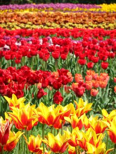 """...und ein Tulpenmeer verwirrt """"Die Wandler"""" vollends! Mich überwältigt es übrigens auch! ...und Euch? http://www.christina-dabrowski.com/#!blog/c1ckt"""