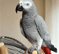 African Grey Parrot - Bing Images