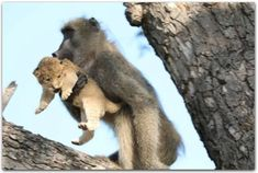 A male baboon carries a lion cub in a tree in the Kruger national park, South Africa. The baboon took the little cub into the tree and preened it as if it were his own, said safari ranger Kurt. Kruger National Park, Le Roi Lion Disney, Young Simba, Strongest Animal, Baby Simba, Leopard Cub, Pride Rock, Tanzania Safari, Lion Cub