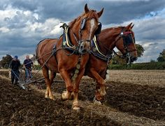 the Suffolk Punch at work