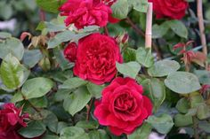 Die Kletterrose Tess of the d`Urbervilles® aus der Englischen Rosenkollektion beherrscht wie ihr literarisches Vorbild das Spiel der großen ...