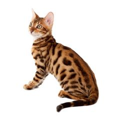 Going to adopt a bengal kitten, although it may cost me $500, it's worth it for a SUPERCAT