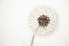Dandelion puff-so light-still don't want them in my yard.