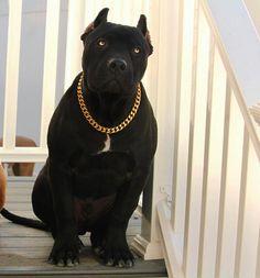 "13.1k Likes, 50 Comments - Bully Magazine (@bullymagazine) on Instagram: ""Prague of @xxldesignerpitbulls rocking his @swoledogs Cuban gold chain! ✨ Get your dog a @swoledogs…"""