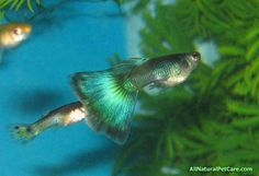 Green Delta Guppy fish in our aquarium.