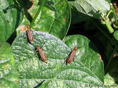 Black blister beetles are decimating my garden.  Here's some tips to get rid of them.