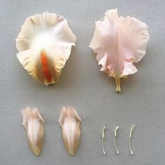 unidentified) deconstructed, collected at Bushman Rock, Zimbabwe Hand Flowers, Iris Flowers, Clay Flowers, Sugar Flowers, Flower Petals, Silk Flowers, Fabric Flowers, Wafer Paper Flowers, Gum Paste Flowers
