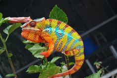 Panther Chameleon  They are present in variety of colors as Red, White, Green and Blue and can change colors quickly. Color change is likely to happen due to affect of temperature, light and even its mood.