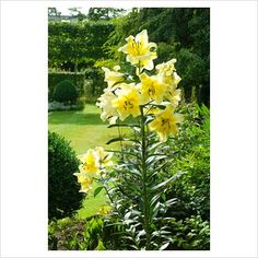 Oriental hybrid Lily - GAP Photos - Specialising in horticultural photography