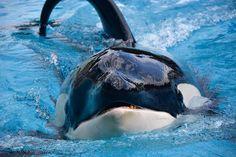Seaworld Orlando, Orlando Travel, Cute Whales, Downtown Disney, Funny Tattoos, Killer Whales, Cute Creatures, Sea World, Under The Sea