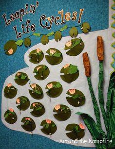 Frog life cycle bulletin board