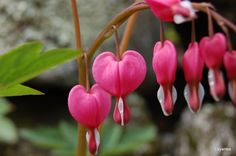 Love the Bleeding Hearts-maybe I will finally get around to putting these in my yard after so may years