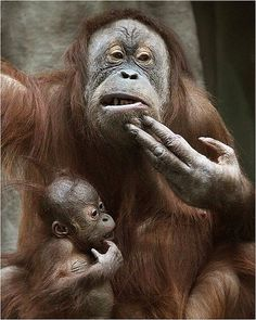 Let's think together... - Orangutans, Moscow Zoo.  Photo : Natalia Nazarova